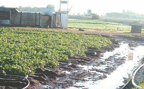 Урожай картофеля под угрозой - Вестник Кипра