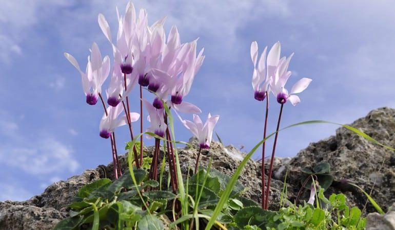 Кипрский национальный цветок увидели миллионы людей по всему миру