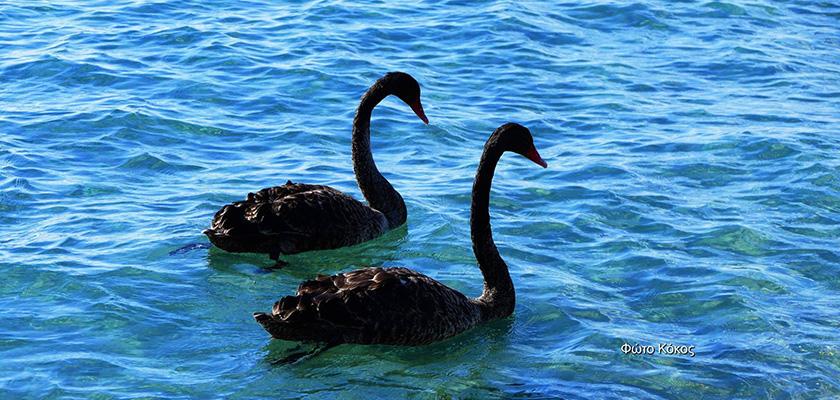 Черные лебеди в Лимассоле | CypLIVE