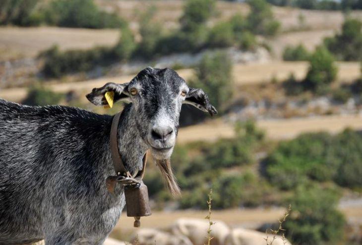 Молния убила стадо коз и собаку