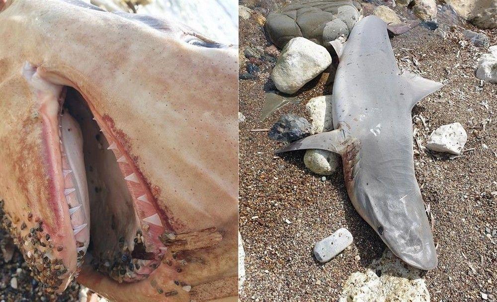 У берега Нео Хорьо нашли песочную акулу - Вестник Кипра