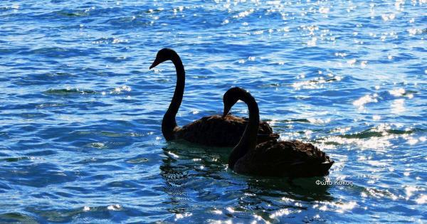 Два прекрасных черных лебедя в море у Лимассола (фото и видео)