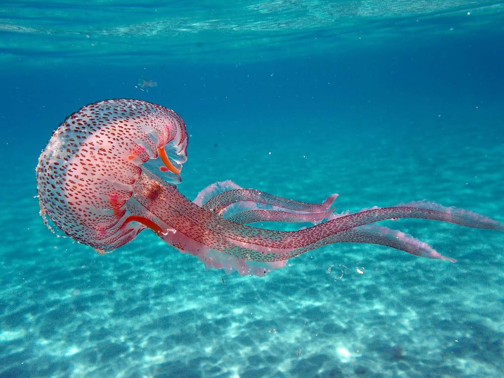 Медузы на северном и северо-западном побережье