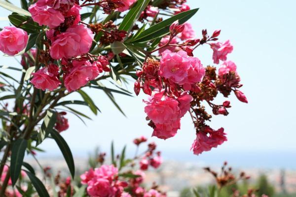 Анфестирия! Фестиваль цветов в Лимассоле