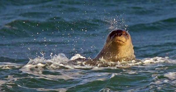 Если увидите 2,5-метровое существо в море у «Посейдонии», не пугайтесь – это «Памела» вернулась (видео)