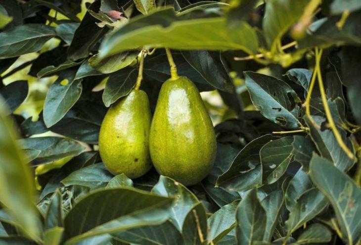 В Куклии похищена тонна авокадо