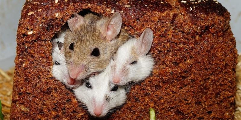 Никосию атаковали мыши!