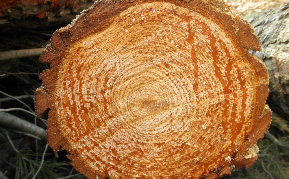 Деревья раскроют тайны истории - Вестник Кипра