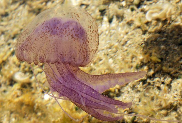 У северных и северо-западных берегов Кипра появились медузы
