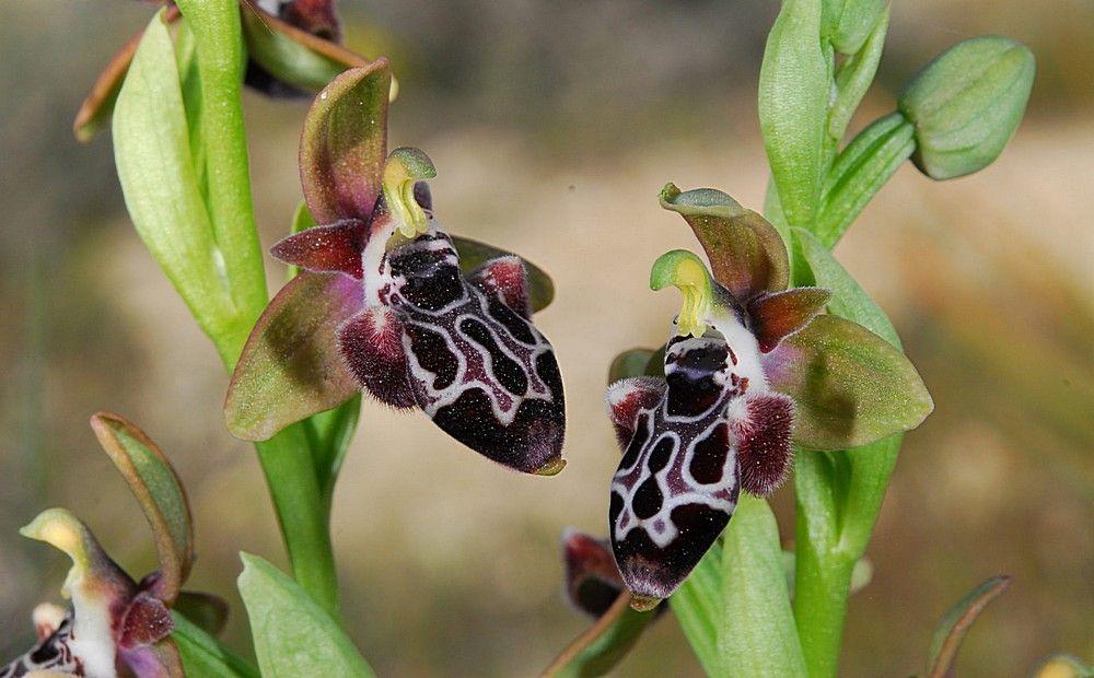 Кипрская пчелиная орхидея - Вестник Кипра