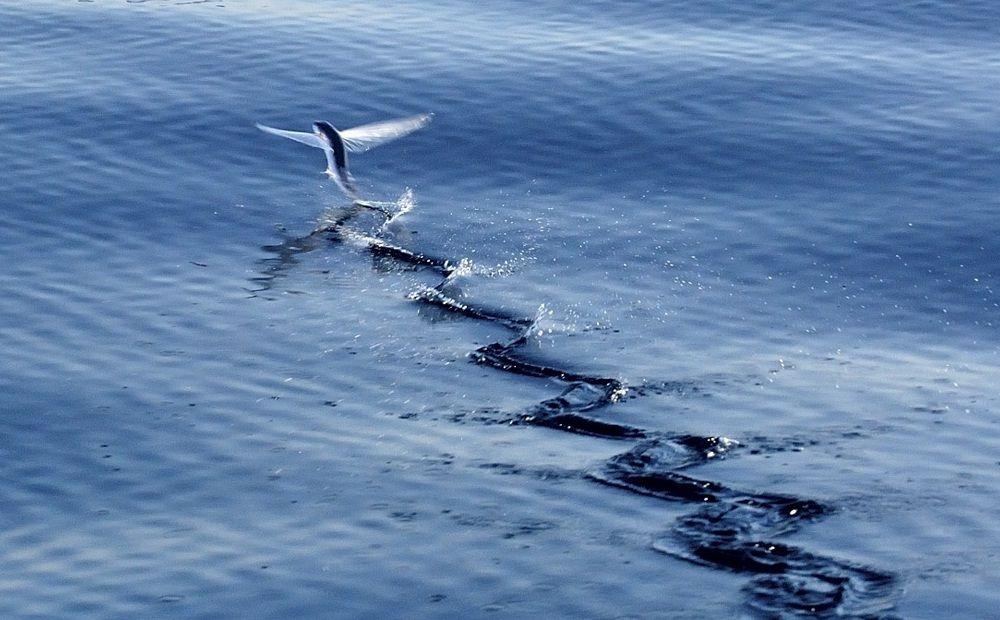 Летающие рыбы существуют! - Вестник Кипра