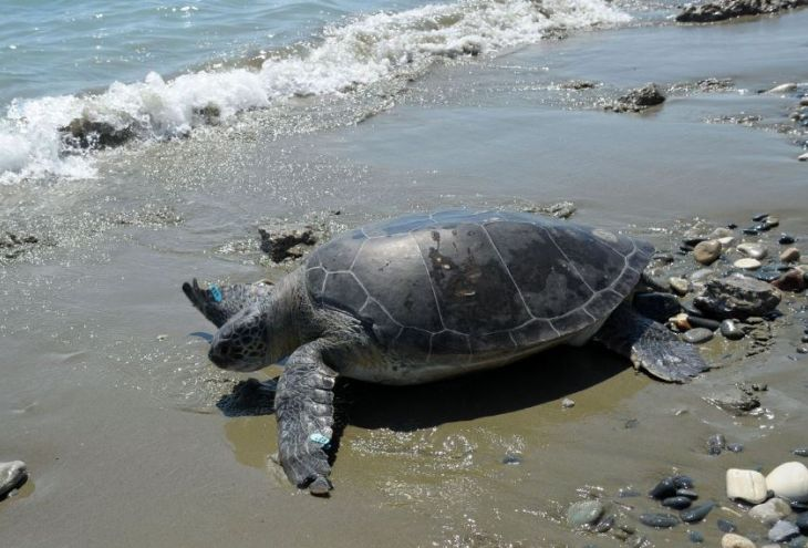 На Кипре вылечили и отпустили в море черепаху Элефтерию