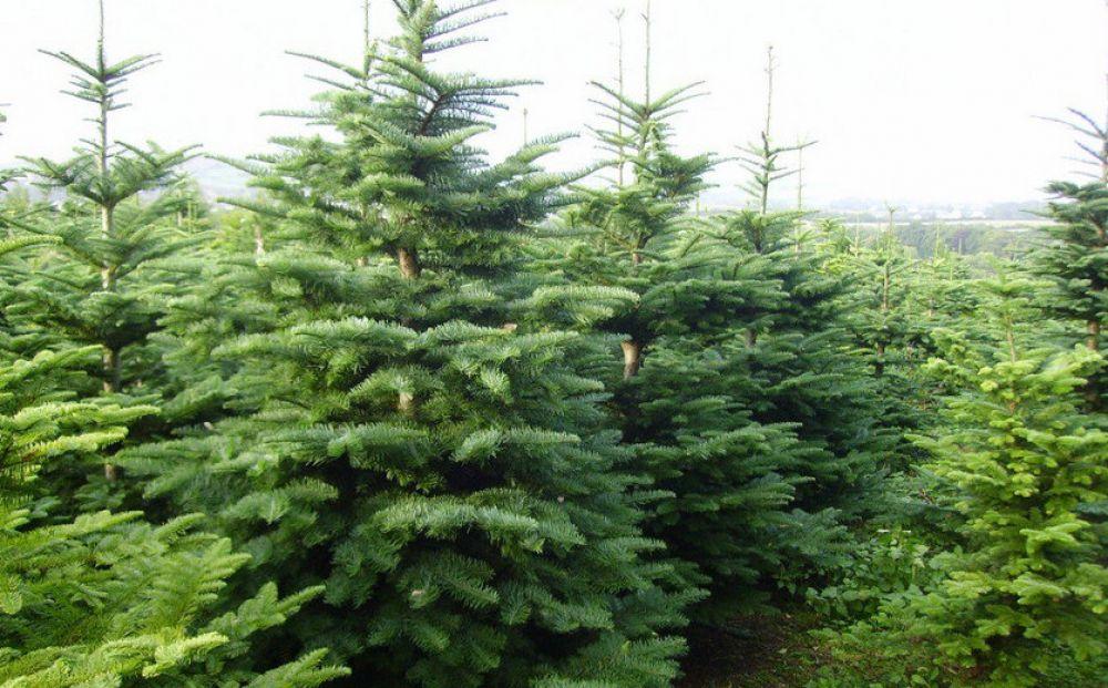Где купить елку? - Вестник Кипра