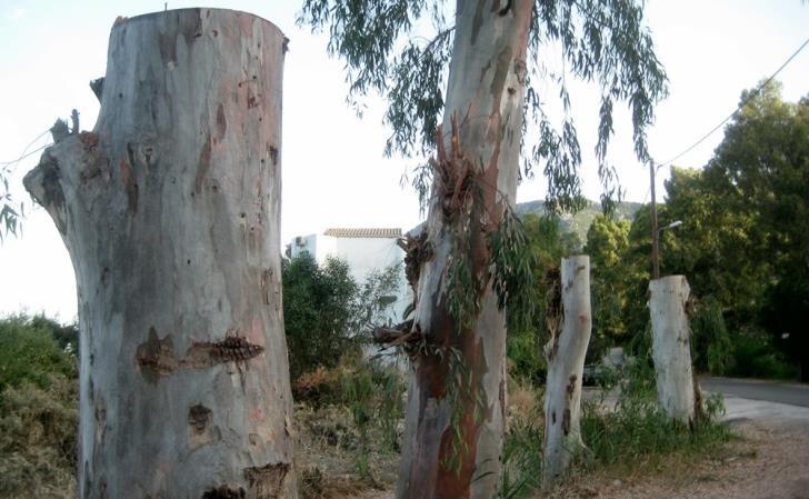 Зачем обрезают ветви эвкалиптовых деревьев - Вестник Кипра
