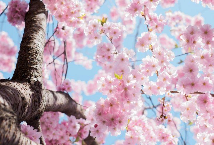 На Кипре создадут японский сад сакуры